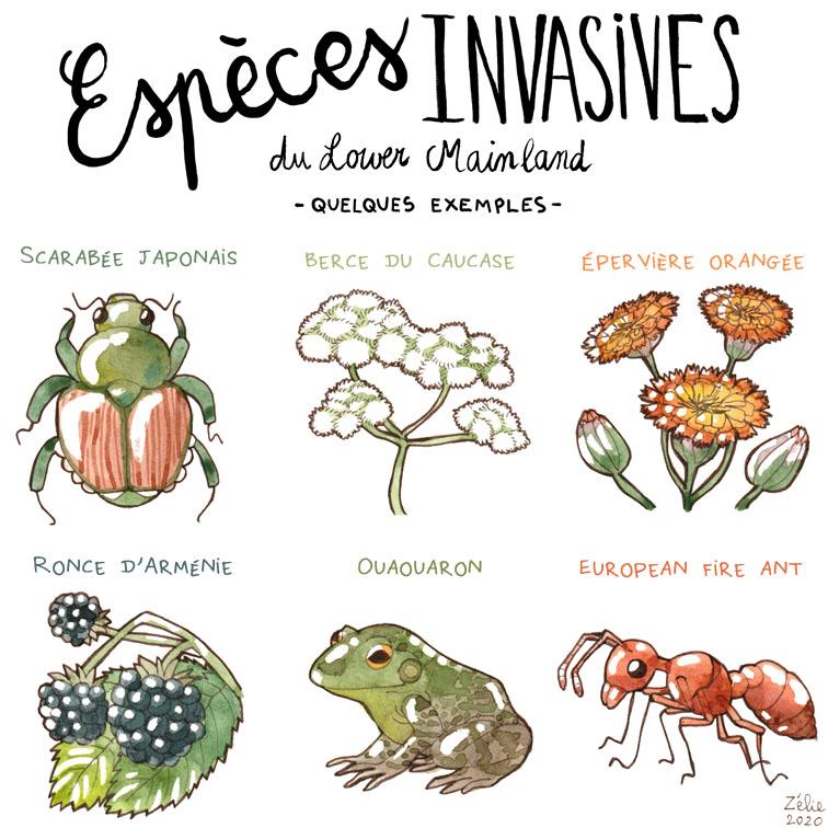 Espèces invasives du Lower Mainland